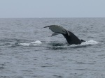 Whale Watching, St. Anthonys