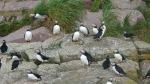 Puffins at Witless Bay